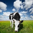 Cow on field — Stock Photo #8149065