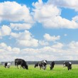 Cows — Stock Photo #8149205