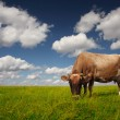 Cow on field — Stock Photo #8149275