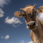 kráva na kameru — Stock fotografie