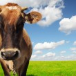Brown cow — Stock Photo #8149684