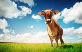 在绿色草地上牛 — 图库照片