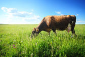 Vaca marrom — Foto Stock