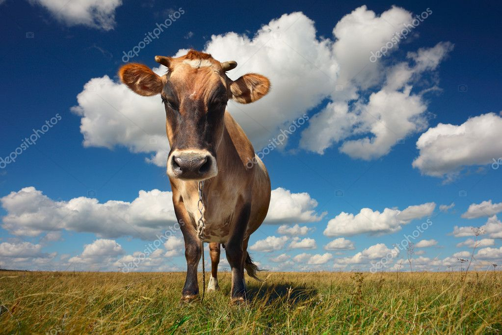 Cow standing on grass and looking to a camera on blue cloudy sky background  Stock Photo #8147643