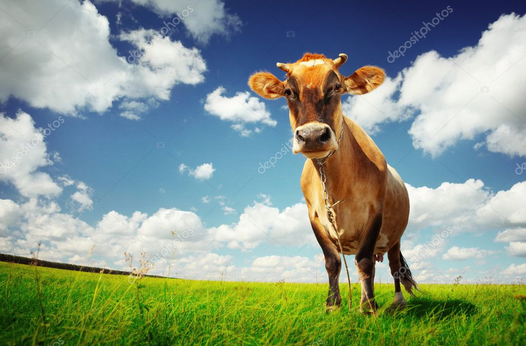 Cow on green grass and blue sky with clouds  Stock Photo #8148193