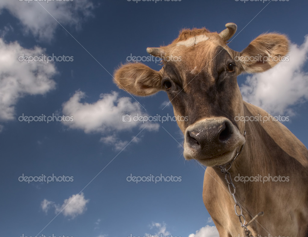 Closeup smiling cow looking to a camera on blue sky background — Stock Photo #8149526