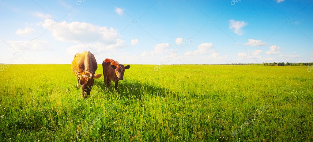 Two cows baby and mother grazing on a meadow. — Stock Photo #8149958