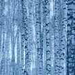 Blue toned birches — Stock Photo #8150149