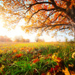 Stock Photo: Autumn oak