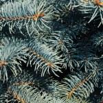 Pine — Stock Photo #8150947