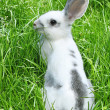 Royalty-Free Stock Photo: Rabbit