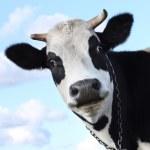 kráva při pohledu na fotoaparát — Stock fotografie