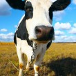 Stock Photo: Cow looking to camera