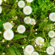 Stock Photo: Dandelions