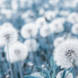 Dandelions — Stock Photo #8152033