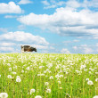 Cow on wide green meadow — Stock Photo
