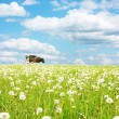 Cow on wide green meadow - Stock Photo