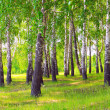 Birches — Stock Photo #8152771