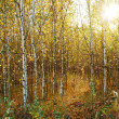 Birches — Stock Photo #8153189