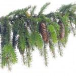 Pine — Stock Photo #8153275