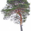 Pine - Stock Photo