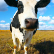 Cow looking to camera — Stock Photo #8153399