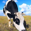 Cow eating grass — Stock Photo #8153934