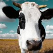 Cow on meadow — Stock Photo #8154560
