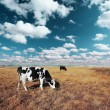 Stock Photo: Cows