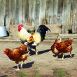 Stock Photo: Hens