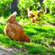 Hens - Stock Photo