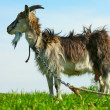 Goat - Zdjcie stockowe