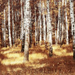 Birches — Stock Photo #8155867
