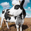 Cow on meadow — Stock Photo #8156172