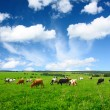 Cows — Stock Photo #8156657