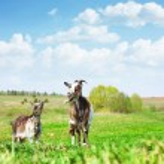 Goats — Stock Photo #8156819