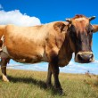 Stock Photo: Brown cow