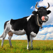 Black cow - Stock Photo