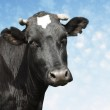 Sad black cow — Stock Photo