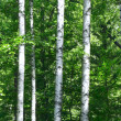 Stock Photo: Birches