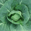 Cabbage — Stock Photo #8157788