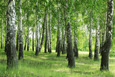 Birches with green grass — Stock Photo