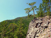 Pine on rocky steep — Stock Photo