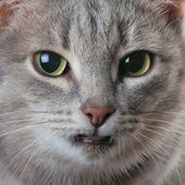 Cat. Macro — Stock Photo
