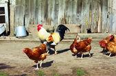 Hens — Stock Photo