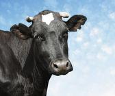 Vaca negra — Foto de Stock