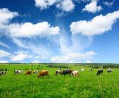 母牛 — 图库照片