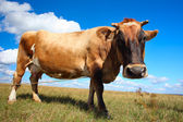 Brown cow — Photo