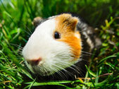 Cavy — Stock Photo