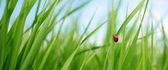 Ladybird — Stok fotoğraf